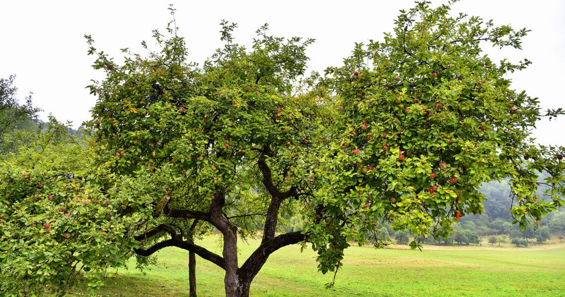 Apfelbaum mit reifen, roten Äpfeln